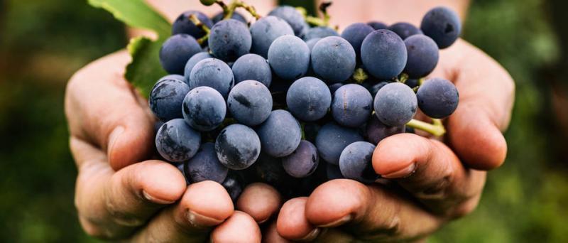 62. kulturno-turističko-gospodarstvena manifestacija Dani berbe grožđa